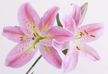 Hương Lily